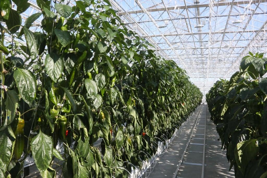 FruitNews: Выращивание | FruitNews.RU