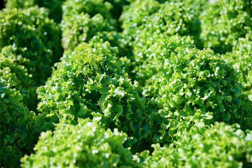 Салат. Фото FruitNews.RU