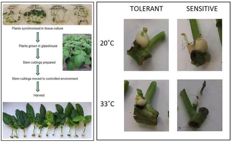 FruitNews: FruitNews.RU | Ученые модифицировали картофель для жаркого климата