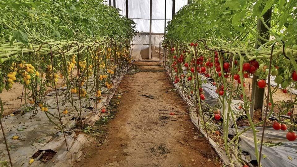 Около 600 тыс. тонн тепличных овощей собрали в России с начала года