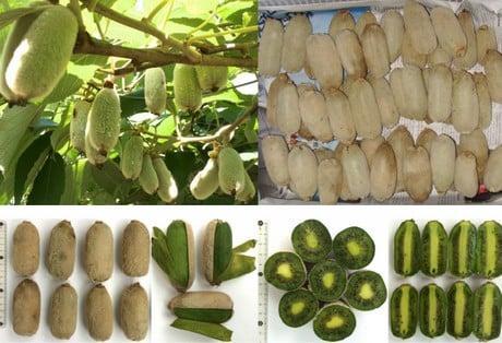 FruitNews: В Китае вывели белые киви, которые чистятся как бананы и содержат больше витамина С | FruitNews.RU
