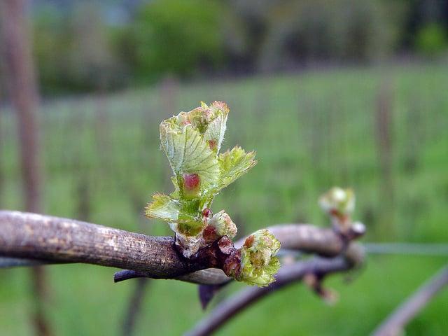 FruitNews: В Китае приступили к разработке руководства по выращиванию винограда на основе спектрального анализа листьев | FruitNews.RU