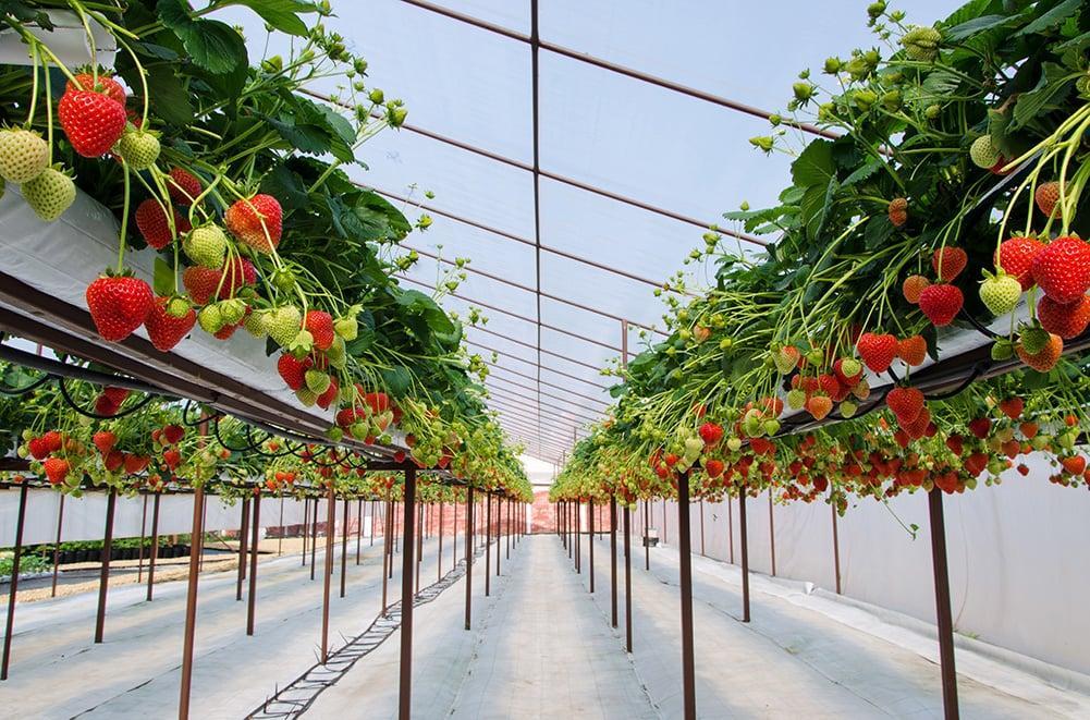 Виталий Королев: Последняя тенденция в выращивании ягод - это высокие тоннели