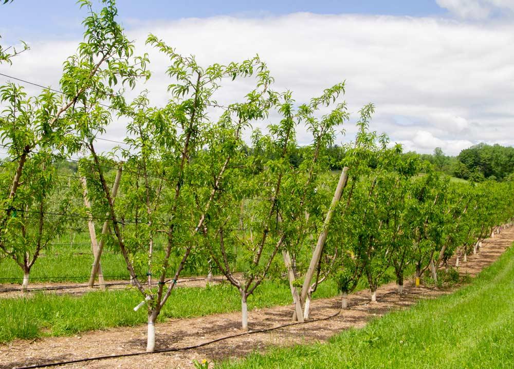 Американские садоводы тестируют выращивание косточковых на шпалерах
