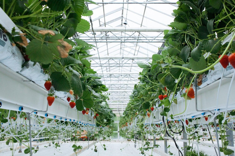 Агрокомбинат «Московский»: Тепличное производство ягод практически окупается за год