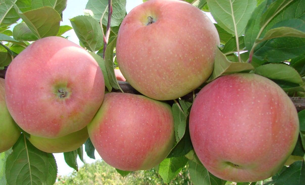 сорт яблони клубничное фото данного