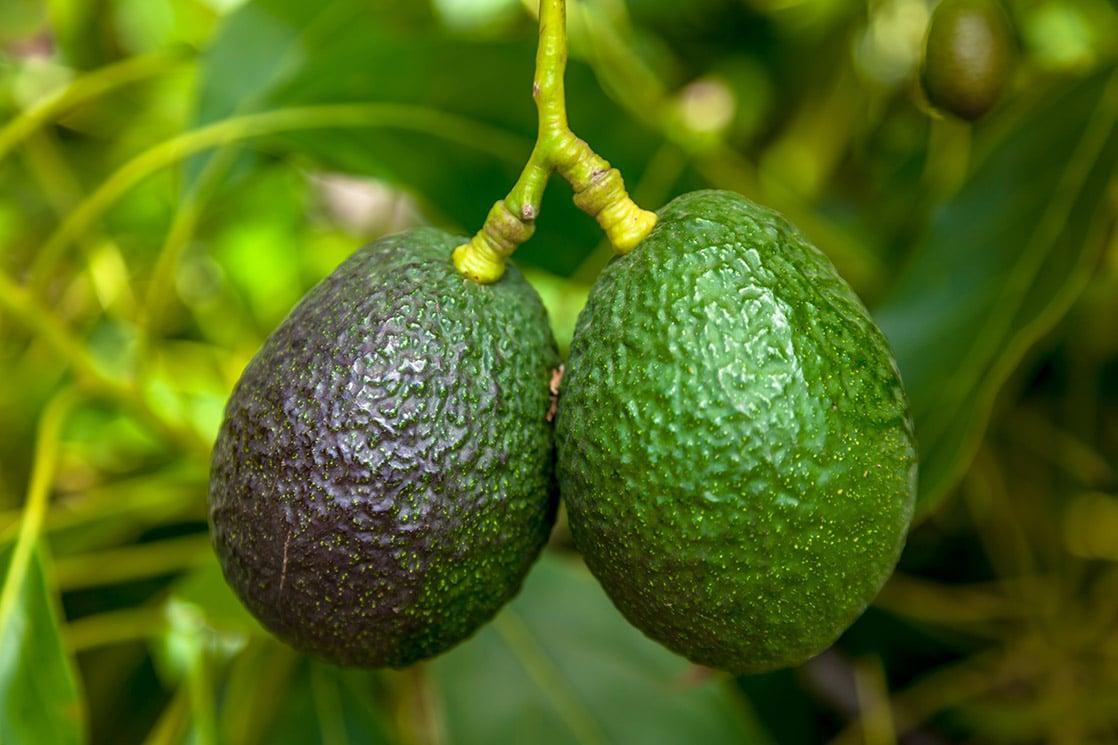 Перуанский урожай авокадо сократится на 5-10%