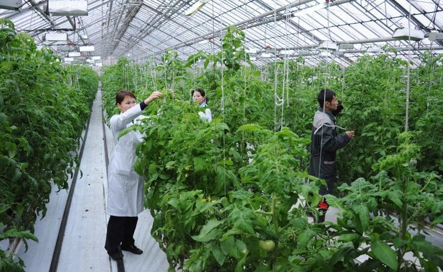 Теплицы для выращивания помидоров зимой 390