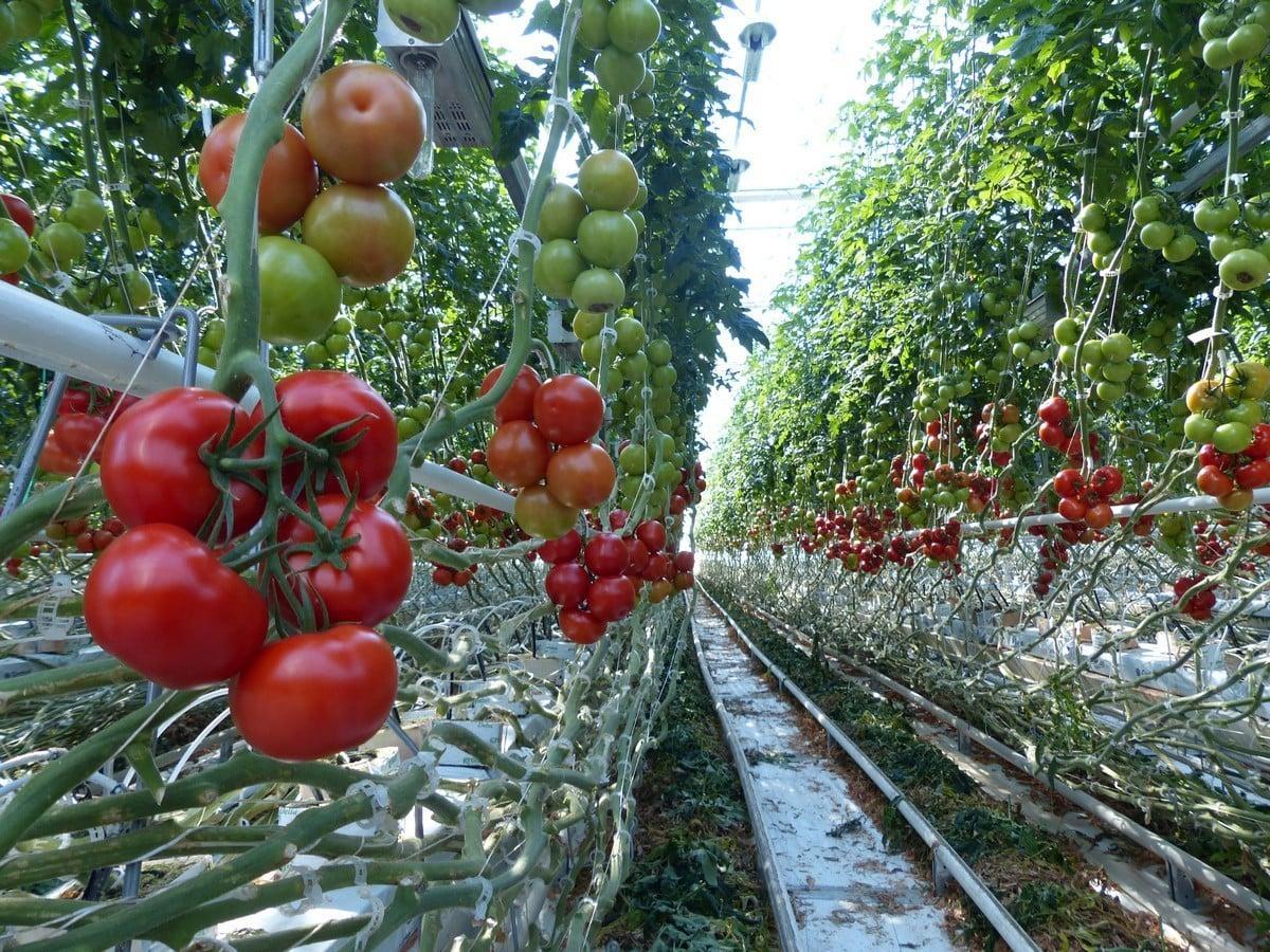 Проект по выращиванию помидоров 598