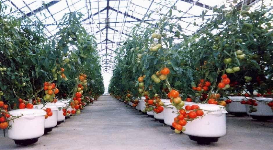 Теплицы для выращивания помидоров зимой 673