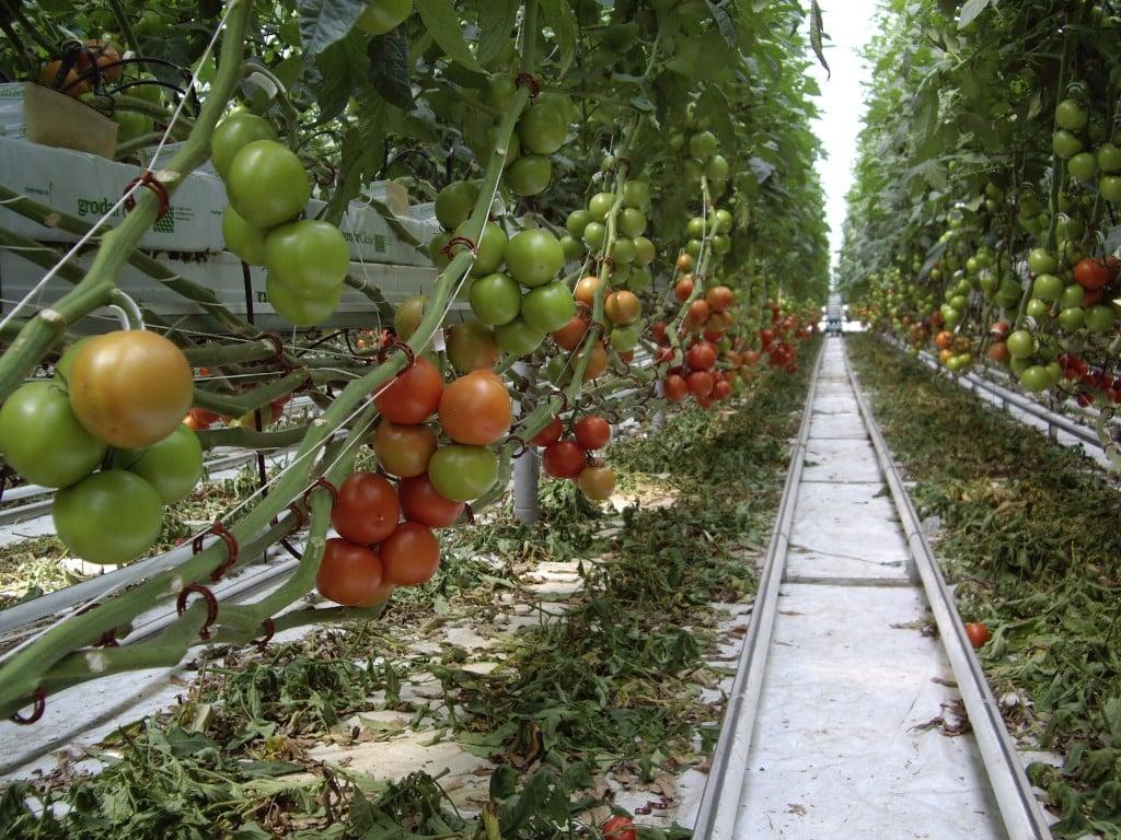 Бизнес план выращивание томатов 63